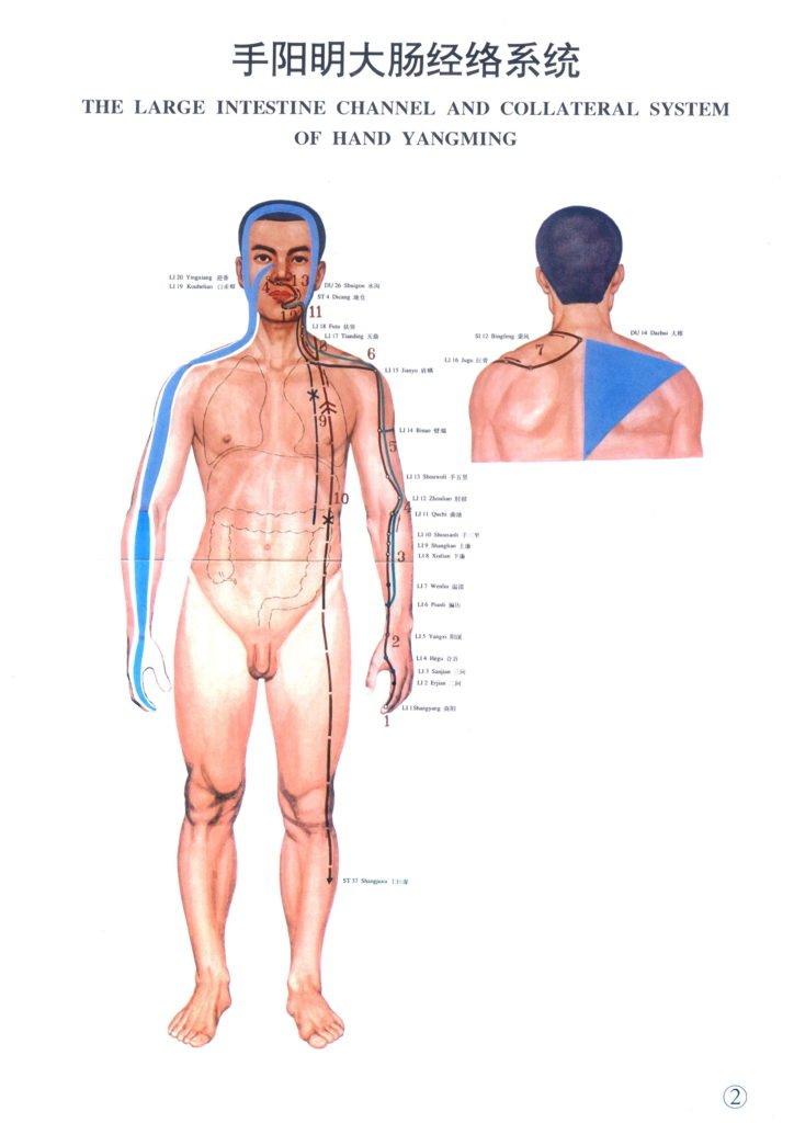 meridiano del intestino grueso