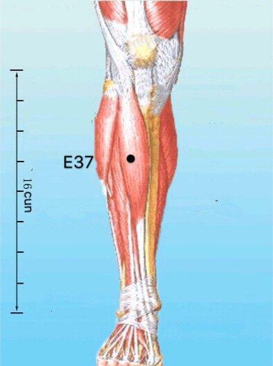 punto E37 Shangjuxu anatomia