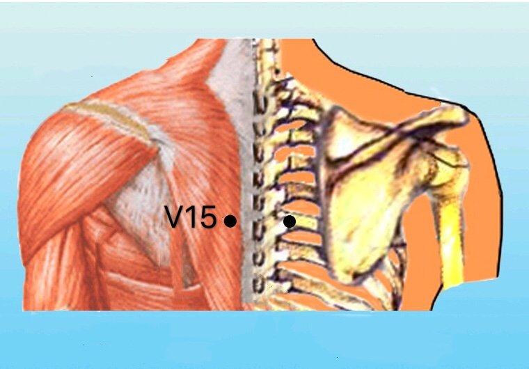 punto v15 xinshu anatomia
