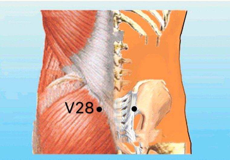 punto v28 pangguangshu anatomia