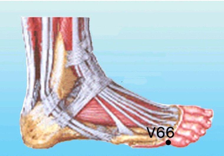 punto v66 zutonggu anatomia