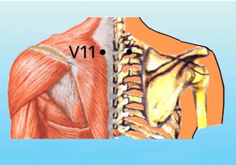 punto v11 dazhu anatomia