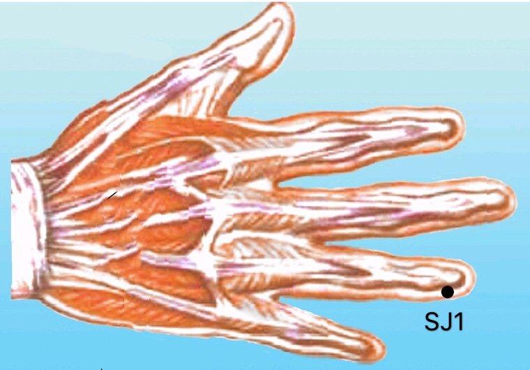 punto sj1 guanchong anatomia