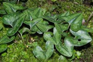planta china du heng