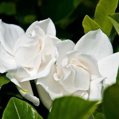 flor de zhi zi
