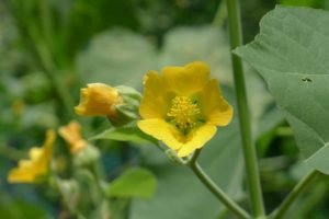 Qing Ma 苘麻 (Herba seu Folium Abutili)