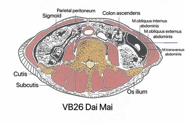 punto vesiculo biliar 26