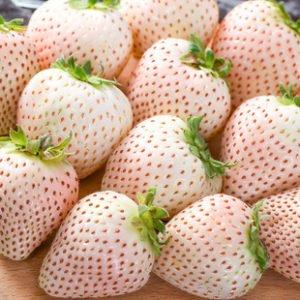 Bai cao mei 白草莓 (Fragaria nilgerrensis Schlecht.)