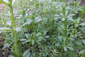 Ba xian cao 八仙草 (Tender Catchweed Bedstraw Herb)