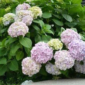 Ba xian hua 八仙花 (Hydrangea macrophylla)